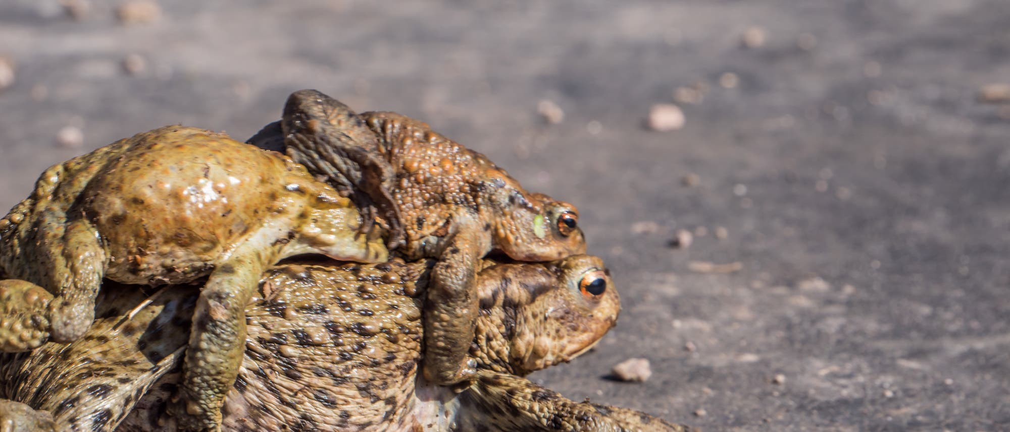 Erdkröten begeben sich im Frühjahr auf Wanderung.