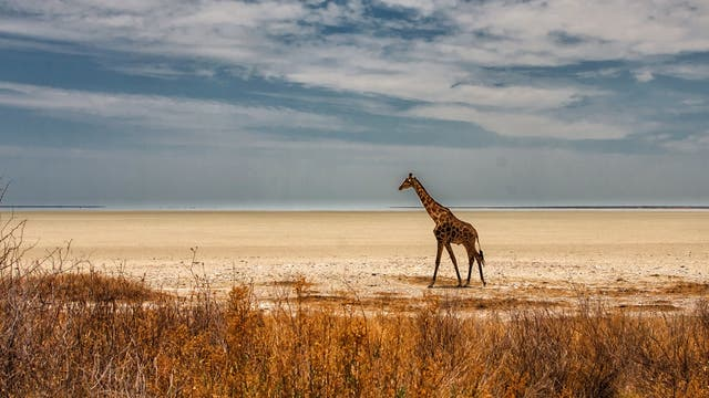 Einzelne Giraffe läuft durch die Steppe