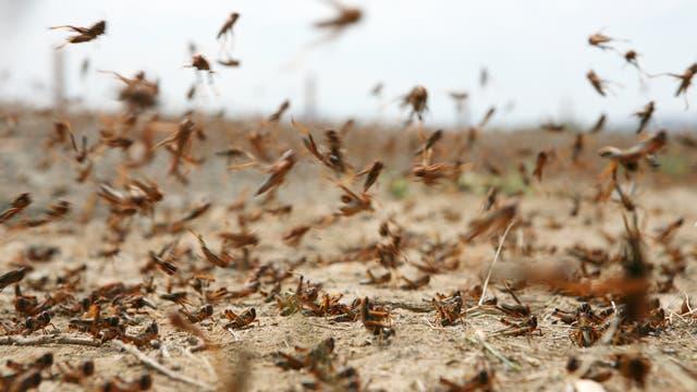 Die Heuschrecken machen sich auf, um die Ernten zahlreicher Menschen zu vernichten