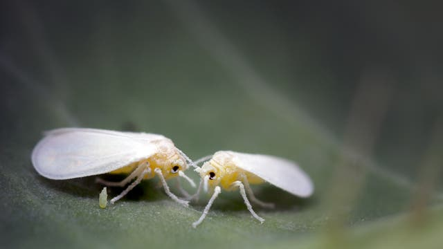 Manche Weiße Fliegen haben ein schützendes Gen von Pflanzen übernommen