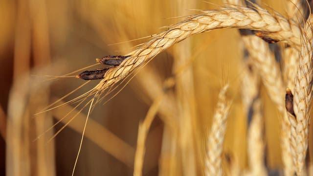 Mutterkorn an Getreide