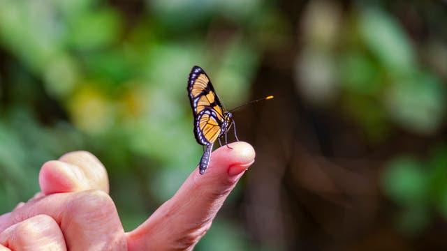 Ein Schmetterling sitzt auf einer Fingerkuppe. Der Finger ist noch mit einer Hand verbunden und liegt nicht irgendwo rum, keine Sorge.