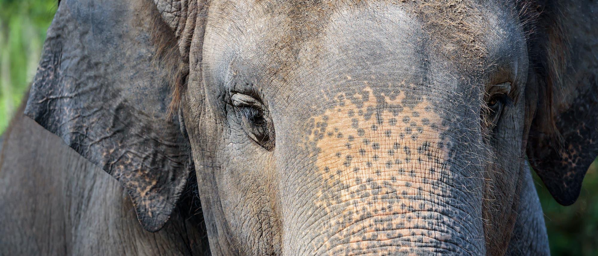 Elefantengesicht frontal fotografiert