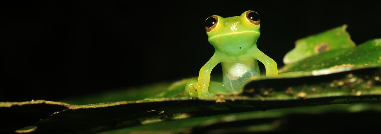 Ein Glasfrosch auf einem Blatt