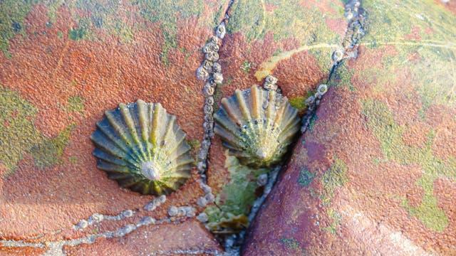 Zwei Napfschnecken der Art Paella vulgata haften samt Gefolge aus Seepocken an einem Felsen.