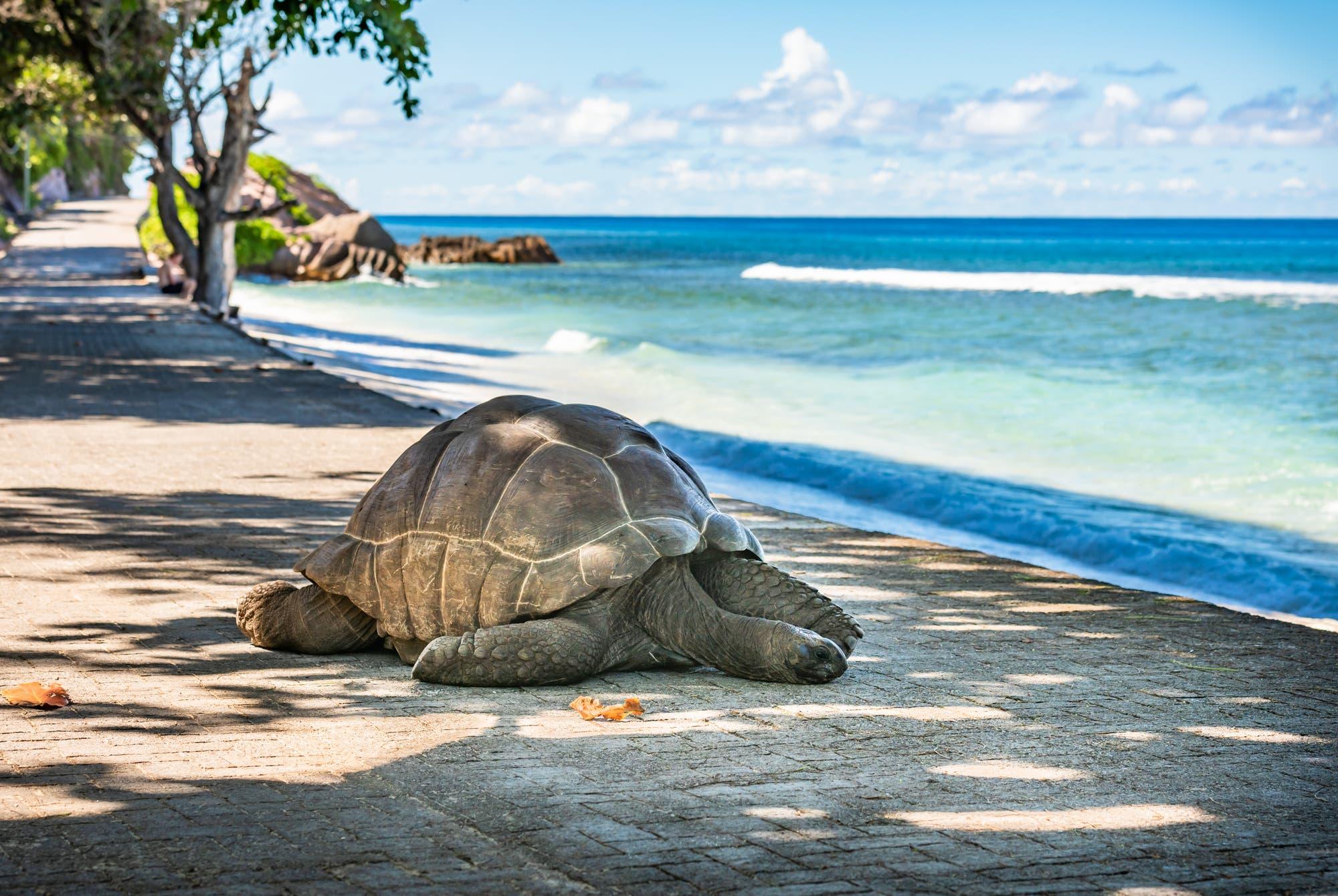 Tortuga gigante de Altabra en La Tech Island en las Seychelles