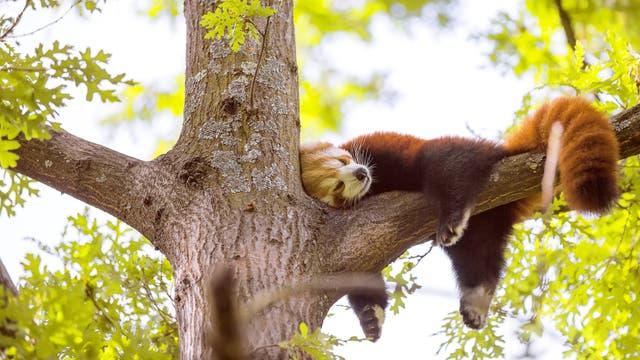 Kleiner Panda ruht sich aus