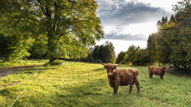 Schottische Hochlandkühe auf grüner Weide