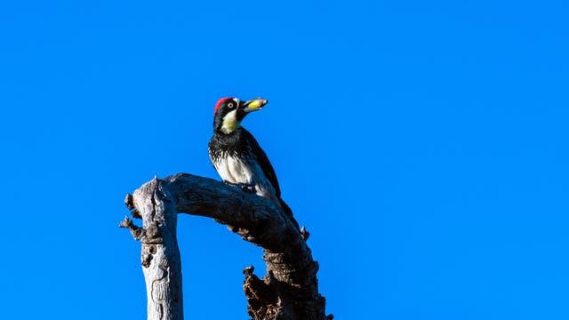 Eichelspecht (Melanerpes formicivorus) in Kalifornien