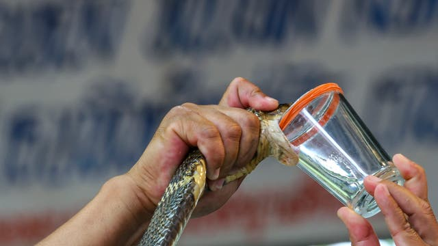 Eine Schlange wird für ihr Gift gemolken.