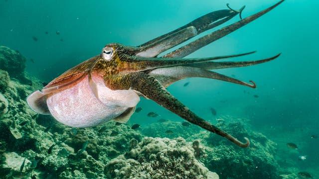 Tintenfisch in Verteidigungspose