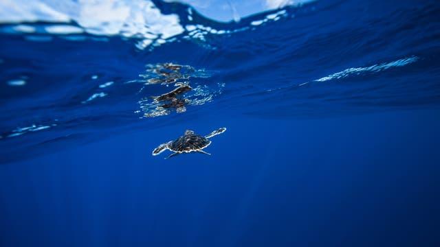 Baby-Meeresschildkröte