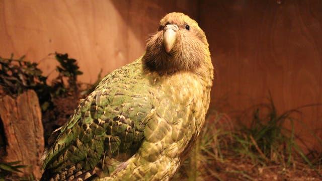 Der nachtaktive Kākāpō ist im Wesentlichen ein Pflanzenfresser, ziemlich dick und flugunfähig.