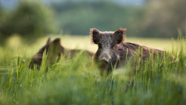 Wildschweine im Gras