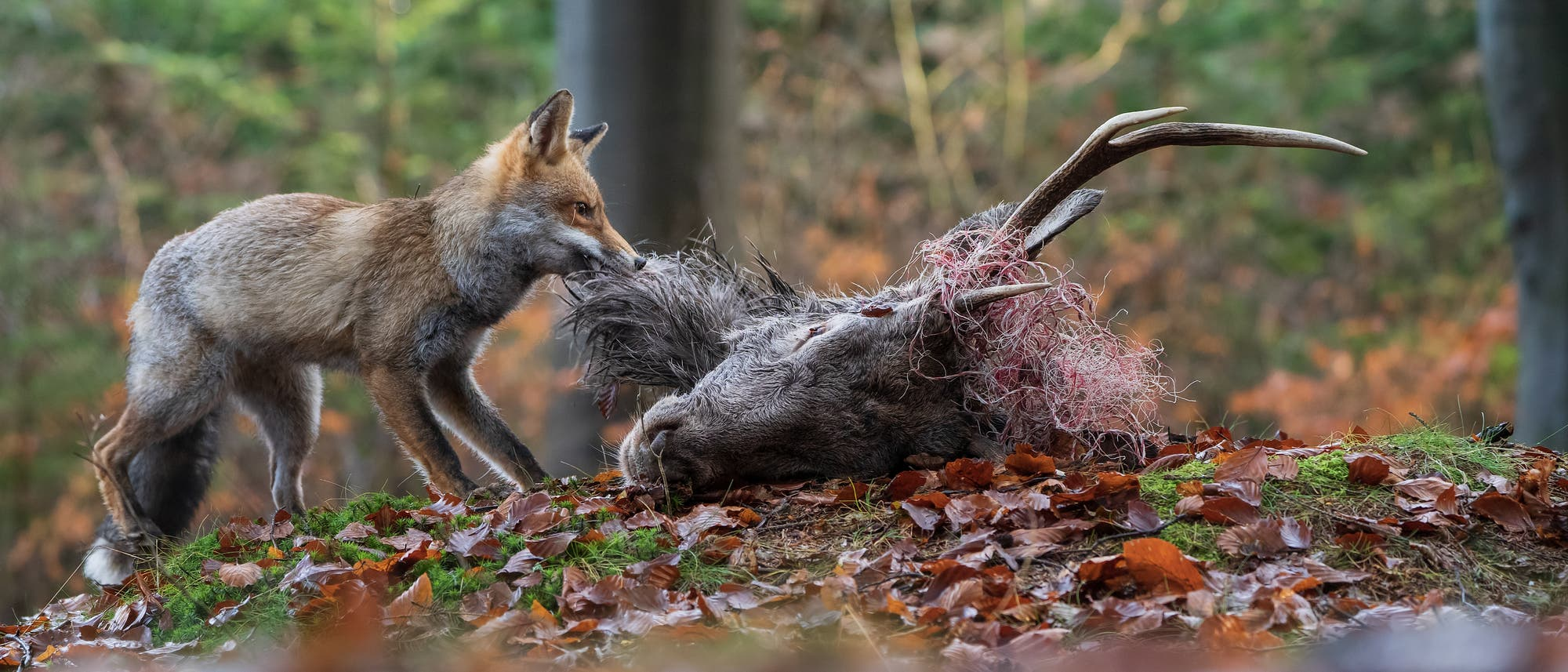 Fuchs frisst toten Rehbock