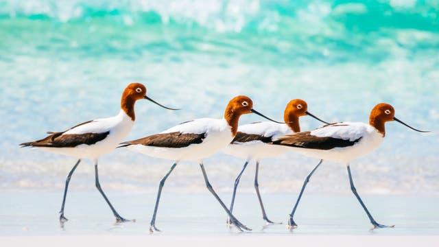 Vier Rotkopfsäbelschnäbler (Recurvirostra novaehollandiae) am Strand des Fitzgerald-River-Nationalpark in Western Australia