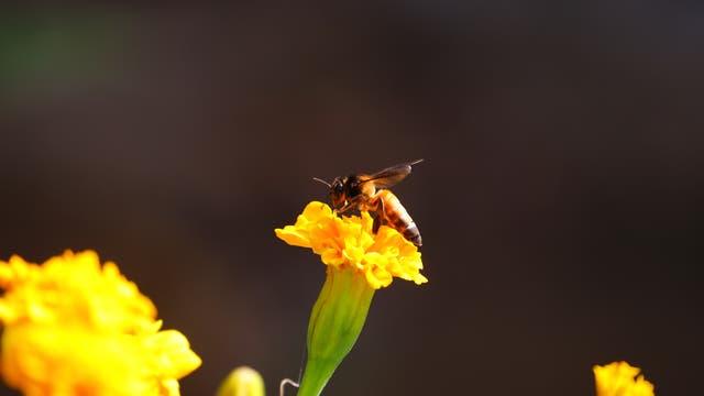 Riesenhonigbiene (Apis dorsata)