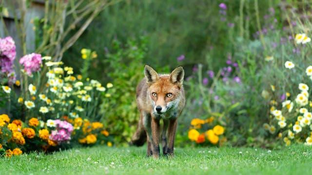 Als der moderne Mensch einwanderte, ergab sich für die Füchse ein einfacherer Weg der Futterbeschaffung als zuvor.