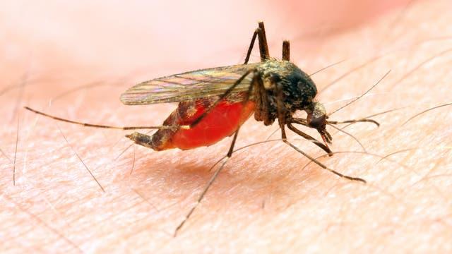 Malariamücke beim Blutsaugen