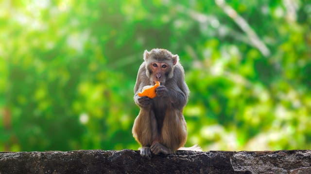 Affe frisst Obst