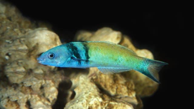 Bei vielen Lippfischen wie dem Blaukopf-Junker ist die Geschlechtsumwandlung Teil des Lebens.