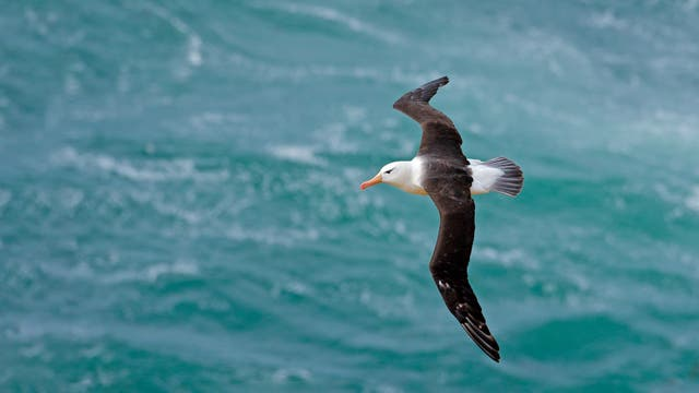 Schwarzbrauen-Albatros mit dunklen Flügeln