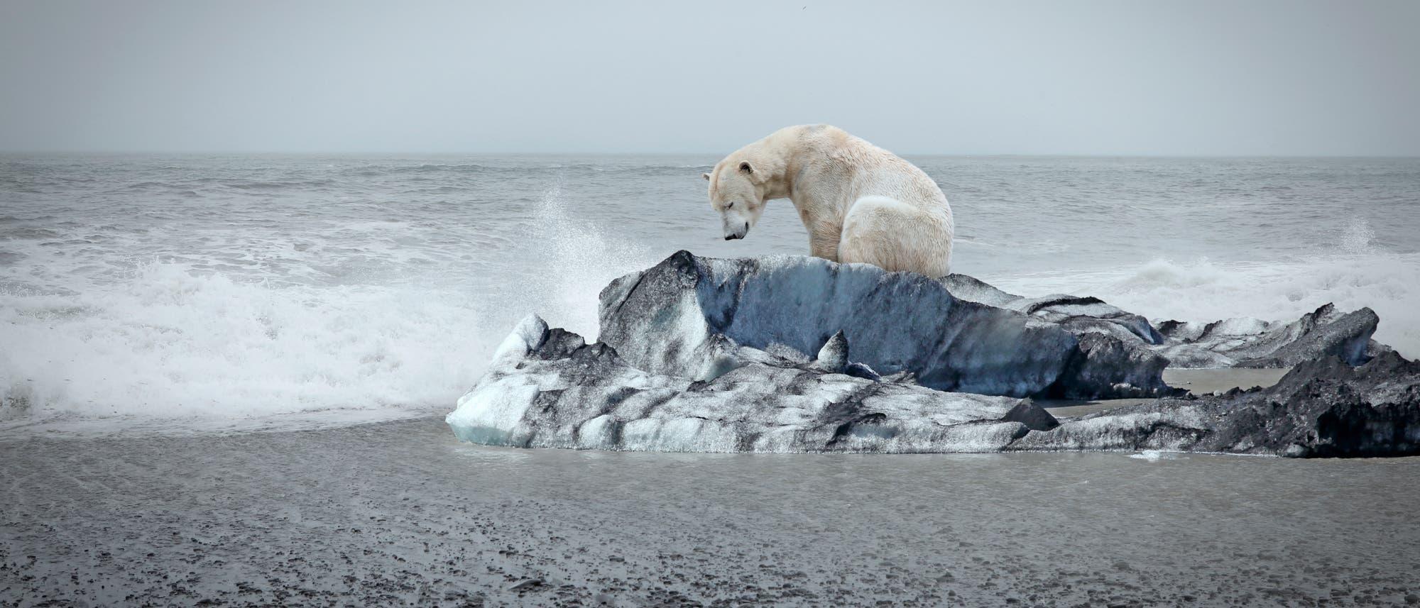 Arktische Tiere wie Eisbären sind auf Meereis angewiesen. Obwohl die jährliche Mindestausdehnung in diesem Jahr relativ hoch war, schrumpft die Eisdecke mit dem globalen Temperaturanstieg.