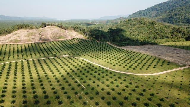 Palmöl-Plantage in Südostasien
