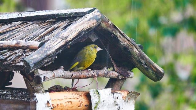 Grünfink sucht Schutz vor dem Regen