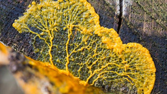 Das gelbe Röhrennetzwerk eines Schleimpilzes breitet sich auf Holz aus.
