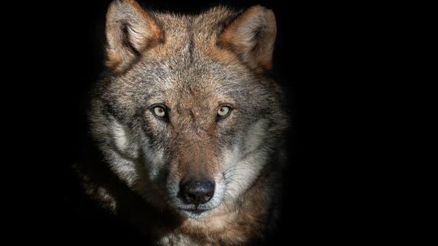 In allen Bundesländern mit Ausnahme des Saarlandes leben zumindest vereinzelt Wölfe.