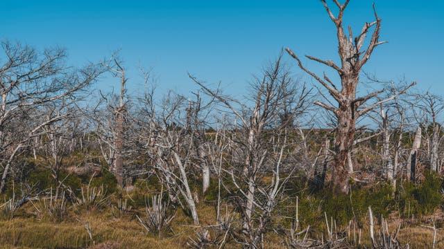 Geisterwald auf Cockspur Island in Georgia. Gebleichte Bäume, getötet vom Salzwasser um ihre Wurzeln.