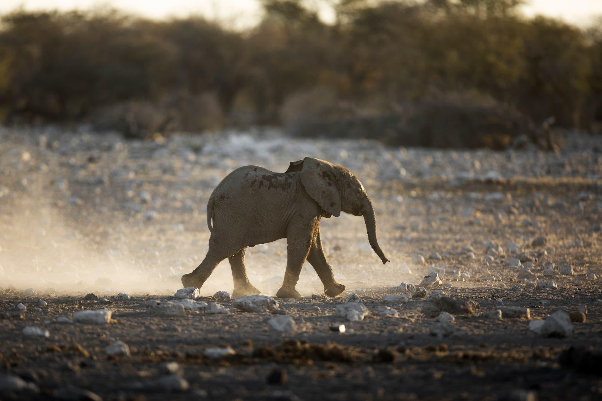 Ein Babyelefant läuft alleine durch die Savanne