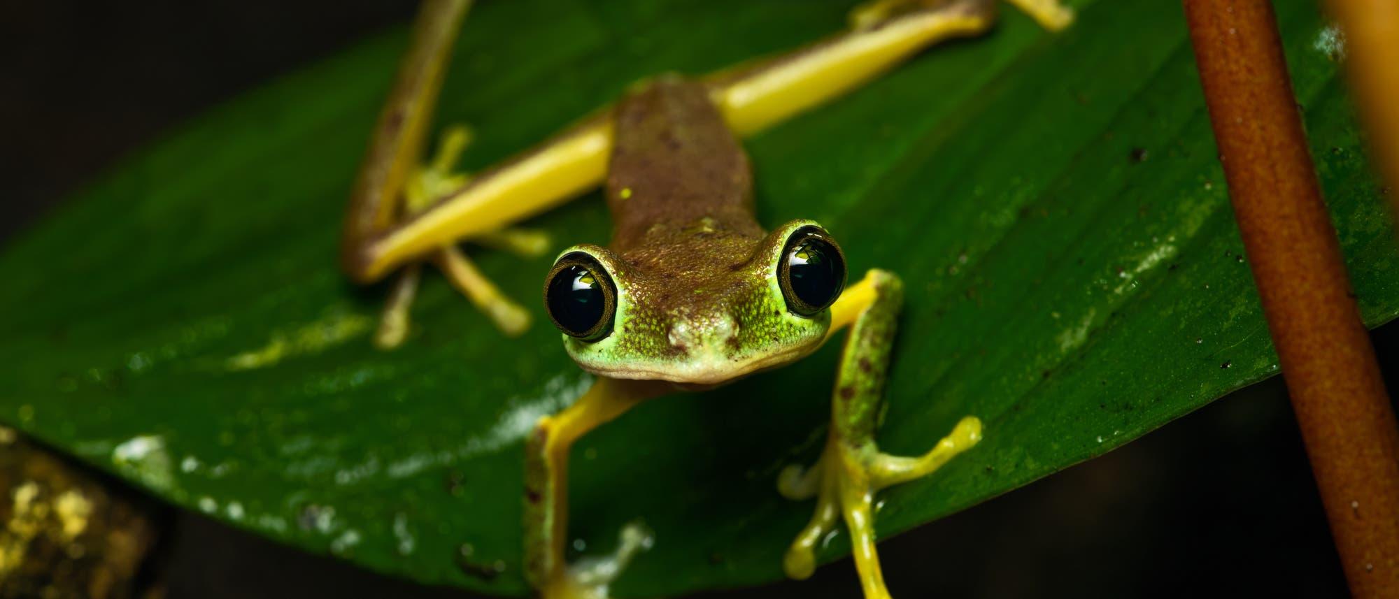 Durch einen Pilzbefall ging der Bestand der Amphibien in vielen Regionen der Welt dramatisch zurück. Betroffen war auch der Lemur-Laubfrosch, der in Costa Rica, Panama und im Nordwesten Kolumbiens beheimatet ist.