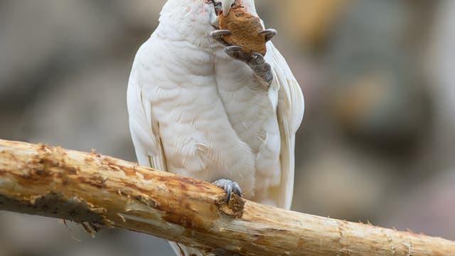 Einige Goffinkakadus nutzen Werkzeuge, um Samen zu knacken.