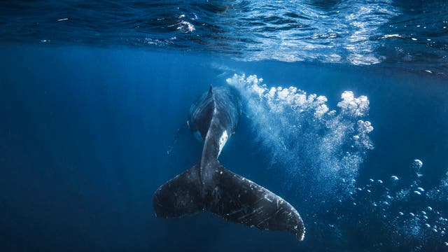 Ein Wal lässt das Wasser aufsprudeln