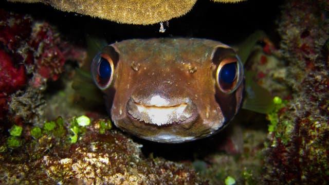 Ein Igelfisch blickt in die Kamera.