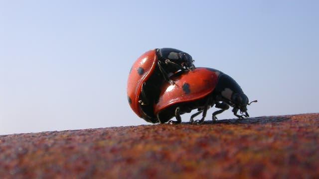 Zwei Marienkäfer haben Sex auf einem rostigen Rohr.