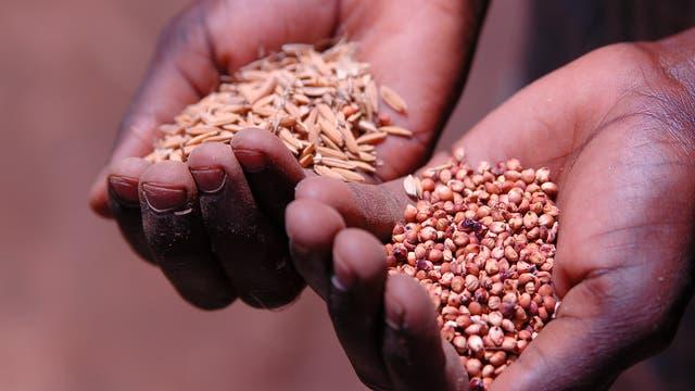 Zwei Hände halten verschiedene Getreidekörner