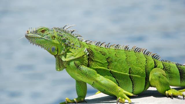 Ein grüner Leguan in Florida