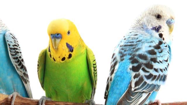 Grünes Federkleid und gelber Kopf – so präsentiert sich die Wildform der in Australien heimischen Wellensittiche (Melopsittacus undulatus). Erst als Vogelhalter anfingen, gezielt neue Farbvarianten zu züchten, entstand vor etwa 130 Jahren die heute im Zoohandel angebotene blau-weiße Form.