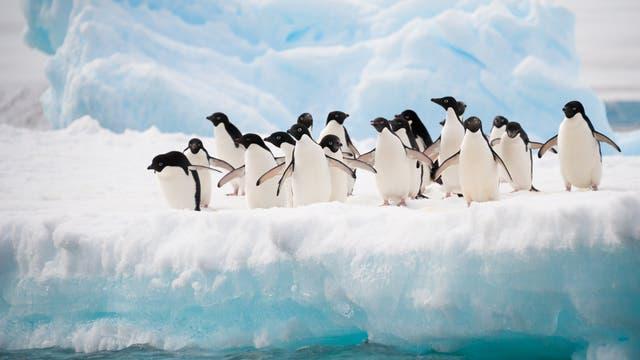 Pinguine auf dem Eis