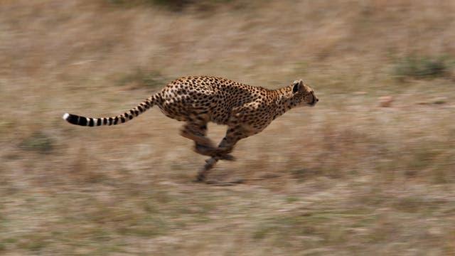 Geparden sind die schnellsten Landtiere.