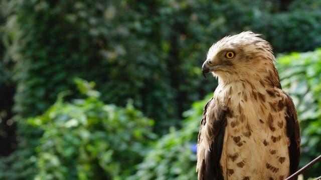 Die Schlangenadler (Circaetus gallicus) gehören zu den Vögeln Indiens deren Bestände stark abgenommen haben.