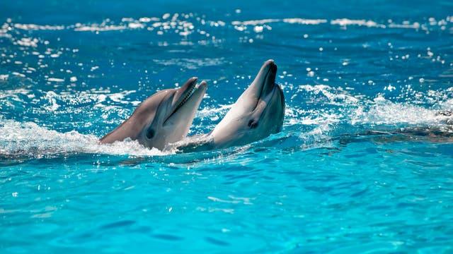Zwei Delfine schwimmen im türkisblauen Wasser.