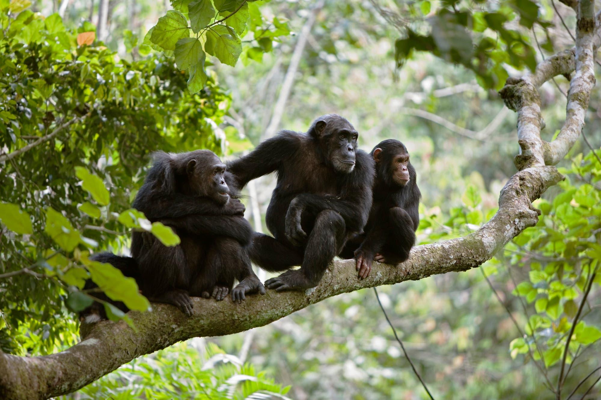 Eine Schimpansenfamilie sitzt auf einen Ast.
