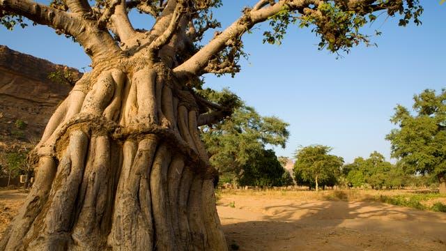 Alter Affenbrotbaum