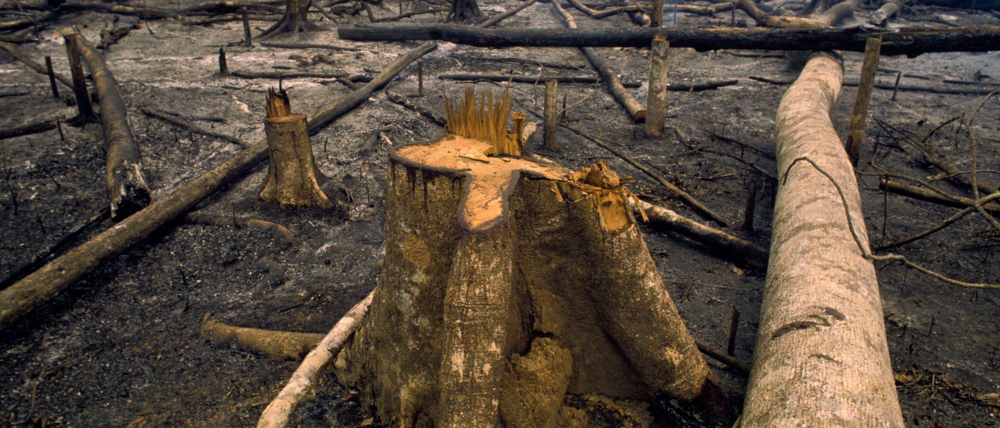 Holzeinschlag im Amazonas-Regenwald