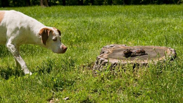 Hund nähert sich einer Schlange auf einem Baumstumpf