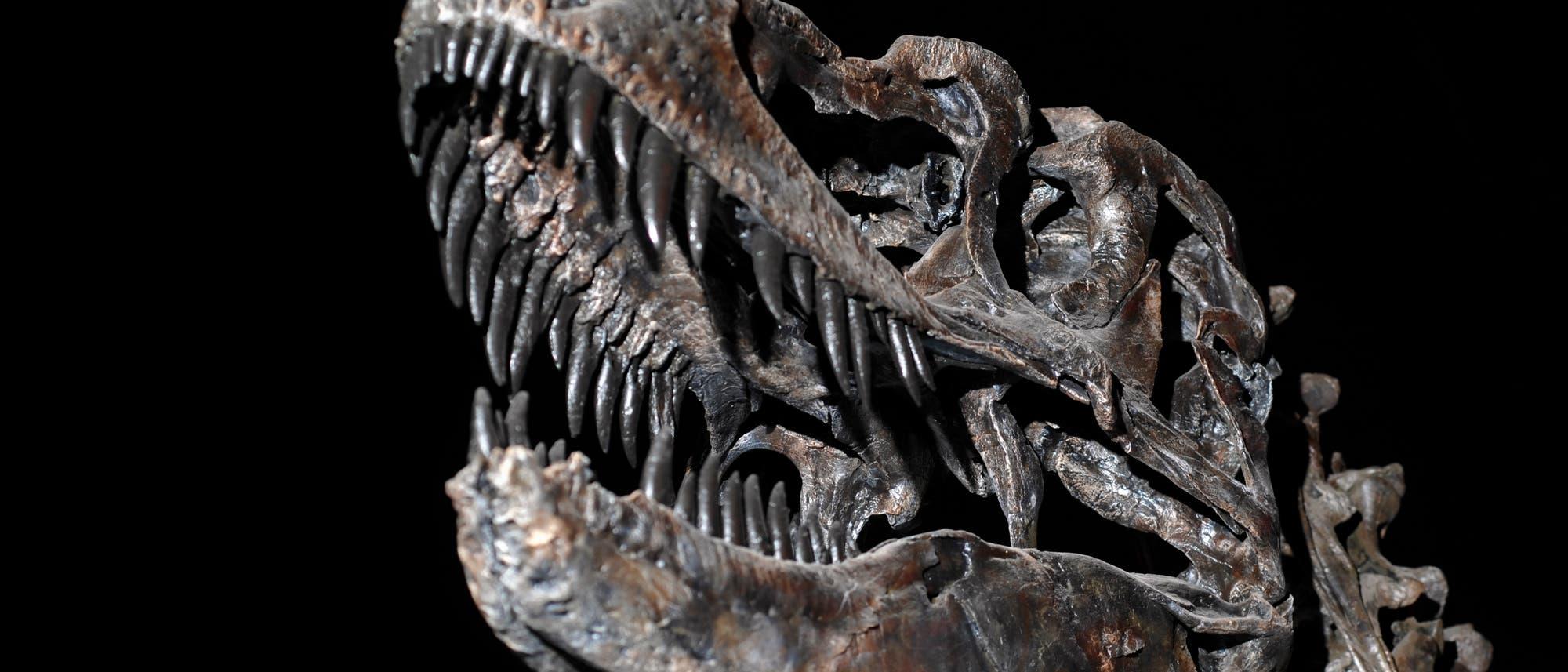 Der Schädel eines T. rex